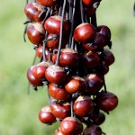2004_strings_of_conkers
