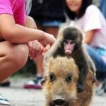 MOnkey-riding-a-pig