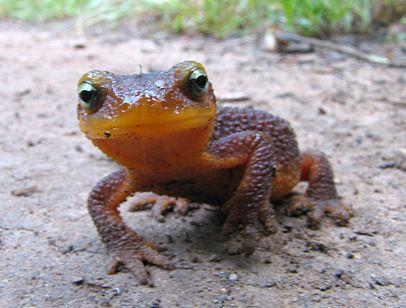 capture-newt